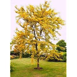 Green Seeds Co. 20pcs goldene Mimose Pflanzen seltene schöne Akazie gelb Wattle Tree Pflanzen Hausgarten Blume Pflanzen edle Bonsai Geschenk Bonsai: Armee grün