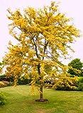 Green Seeds Co. 20pcs goldene Mimose Pflanzen seltene schÃne Akazie gelb Wattle Tree Pflanzen Hausgarten Blume Pflanzen edle Bonsai Geschenk Bonsai: Armee grün