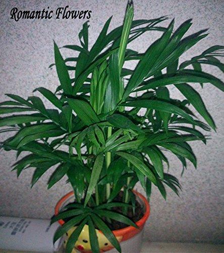 50-particelle-sacchetto-bonsai-lady-palm-semi-indoor-semi-di-protezione-dalle-radiazioni-di-fiori-no