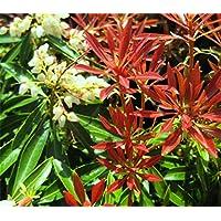 Portal Cool 9 cm Pot Pieris Montaã±a de Fuego Medio Jardãn de arbustos de Hoja perenne