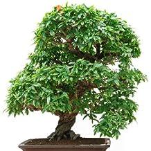 Suchergebnis auf f r kletterpflanzen zimmer - Kletterpflanzen zimmer ...