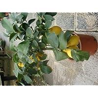 Limonero Enano 4 Estaciones PORTES GRATIS