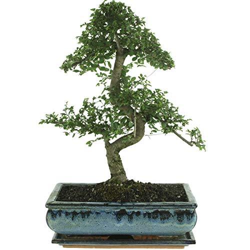 Chinesische Ulme, Bonsai, 12 Jahre, 45-50cm