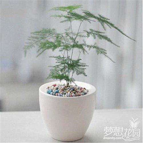 20 bonsaï en pot graines de bambou, graines d'arbres petite maison balcon des semences et jardin