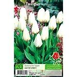 Botanische Tulpen Purissima weiß 20 Stück