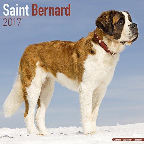 St. Bernard Calendar - Saint Bernard Calendar - Dog Breed Calendars 2017 - Dog Calendar - Calendars 2016 - 2017 wall calendars - 16 Month Wall Calendar by Avonside by MegaCalendars (2016-07-15)