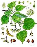 Linde 20 Samen (Heimischer Baum - Winterhart) Auch Bonsai geeignet