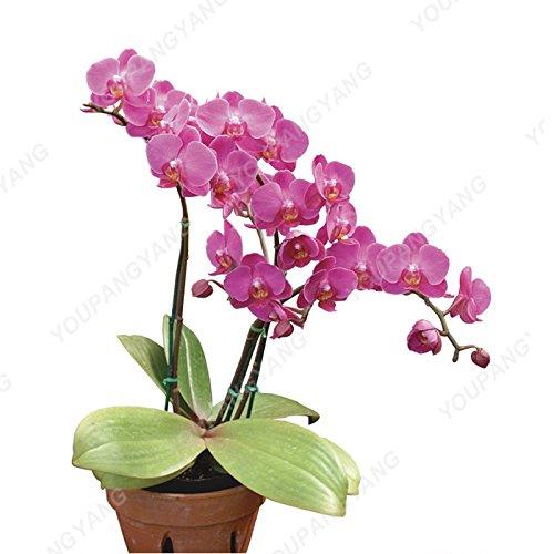100 graines / pack japonais Radiata Seeds Aigrette Orchid Seeds espèces du monde Orchidée Rare Fleurs blanches Orchidee Plant Garden Violet