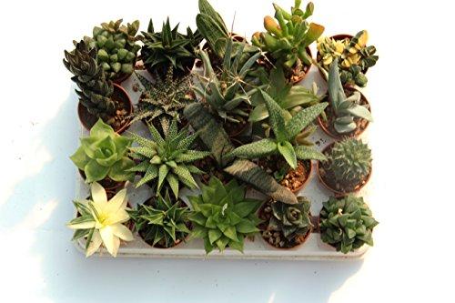 Piante grasse vere rare 20 piante piccole 5 5 vaso for Piante acquisto