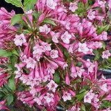 Weigelie 'Styriaca' - Weigela 'Styriaca' - Blütengehölz