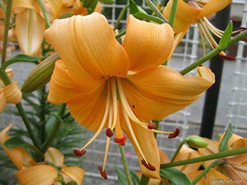 asiatique Lily- Pearl Stacey (Sac de 5 ampoules) véritable Thriller dans le jardin. vivaces