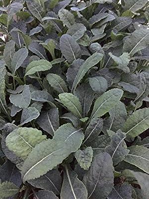 Grünkohl 'Lerchenzungen' 12 Pflanzen, Palmkohl von Weseler Kräuterparadies bei Du und dein Garten