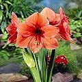 Amaryllis Desire - 1 blumenzwiebel von Meingartenshop - Du und dein Garten