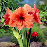 Hippestrum Amaryllis Desire - 1 bulbe de fleur