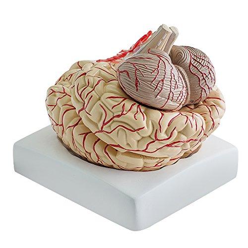funwill médico anatómico Cerebro modelo, humano cerebro anatómico Nueva Disección médica Enseñanza modelwith arterias, profesional, vida tamaño