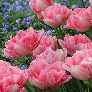 WINTER SALE - Double Pink Peony Flowered Tulips - 50 Bulbs