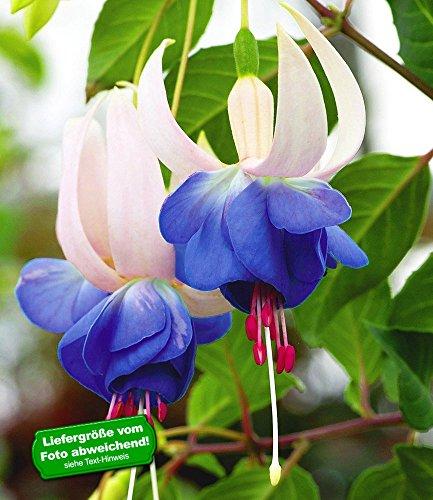 BALDUR-Garten Winterharte Fuchsien \'Blue Sarah\', 6 Pflanzen Fuchsia