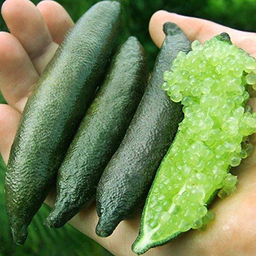 KINGDUO 20 Pc/Pacchetto Finger Limes Agrumi Arancia Semi Giardino Balcone Bonsai Frutta Alberi Piantare Semi-Verde