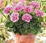 Ultrey Samenshop - 50 Stück Aufrecht Stehende Geranie Samen Pelargonien mehrjährige Gartenblumen Samen Winterharte Bonsai Topfpflanze für Garten Balkon/Terrasse