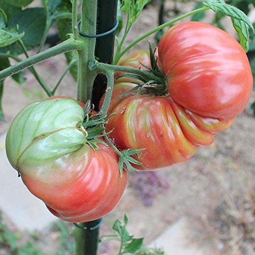 10 Samen Brandywine rot Tomate – Fleischtomate, Früchte bis 500g