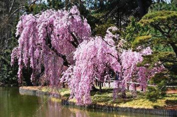 vista 10 unids/bolsa llanto de semillas de sakura, semillas de cerezo, hermosa sakura árbol bonsai árbol de planta de la planta semillas de flores para el jardín de su casa 4