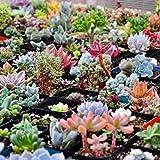 Anitra Perkins - Sukkulenten Samen echte saftig Samen Mix Succulent Mischung winterhart mehrjährig Blumensamen, geeignet auch für alte Schuhen oder Dachziegeln (30)