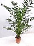 [Palmenlager] - Phoenix canariensis -kanarische Dattelpalme - 150 cm - dicker Stamm - // Indoor & Outdoor Palme