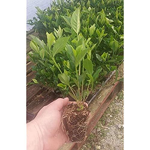 Seeds: Sommer-Schnee Haus und Küche Eigenschaften Gardenia - Hardy auf Grad stark duftend -