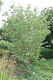 Hartriegel, Blumenhartriegel 'China Girl' - starke Pflanze im 5L Topf