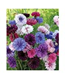 Kornblume - Bachelor's Buttons Color Mix - Centaurea cyanus - Blume - 200 Samen