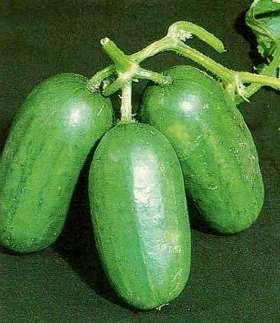 Salatgurke – Gurke Mezzo Lungo Di Polignano – 25 Samen