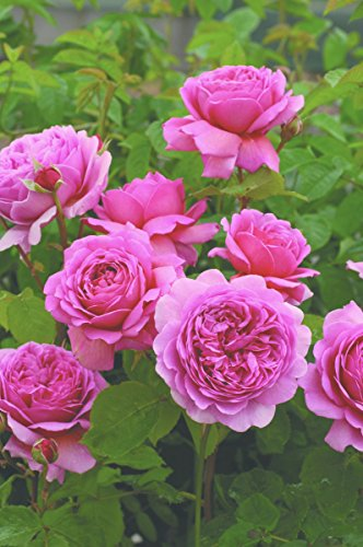 'Princess Alexandra of Kent' (R), Englische Rose im 4 L Container