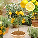 Go Garden 10PCS/Bag Lemon Bonsai Albero...