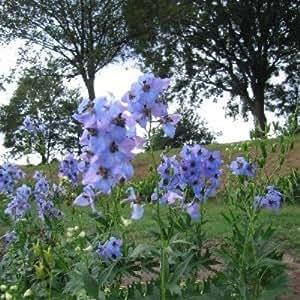Rittersporn ( Delphinium elatum SKYLINER )