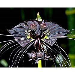 Schwarze Fledermausblume, Bat plant - Tacca chantrieri - Samen