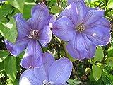 Waldrebe - Clematis Hybride - Mrs. Cholmondeley - großblumig - 40-60 cm