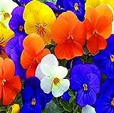 PLAT FIRM Germination Les graines: 2016 Immobilier Offre spéciale Graines de fleurs Pansy Flower 20 graines Hardy, Color Mix...