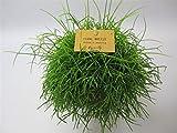 Korallenkaktus (Rhipsalis cassutha), pflegeleichte Zimmerpflanze, hängend, schöne Pflanze (im 12cm Topf)