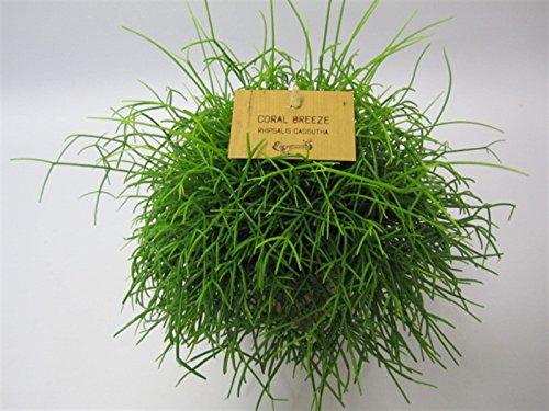 Korallenkaktus (Rhipsalis cassutha), pflegeleichte Zimmerpflanze, hängend, schöne Pflanze (im 12cm Topf) (Hängende Zimmerpflanzen)