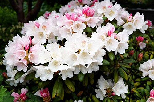 Rhododendron Flava Rhododendron yakushimanum Flava Containerware 30-40 cm