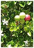 TROPICA - Natalpflaume/Wachsbaum (Carissa macrocarpa) - 10 Samen