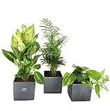 Amazon.de Pflanzenservice Zimmerpflanzen Raumrefresher, Mix im Scheurich Würfeltopf anthrazit -stone, 14x14 cm, 3 Pflanzen und 3 Töpfe, grün
