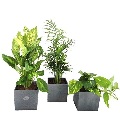amazonde-pflanzenservice-zimmerpflanzen-raumrefresher-mix-im-scheurich-wurfeltopf-anthrazit-stone-14