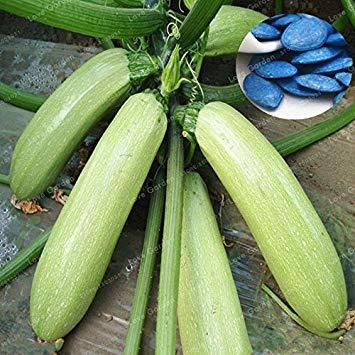 ferry semi di crescita elevati solo non è impianti: semi-comodi 100% t cucurbita pepo semi di zucca organici di verdure seeds zucchini a homee giardino bonsai facile da coltivare 10 semi