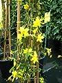 echter Winter Jasmin Jasminum nudiflorum 80 cm hoch im 3 Liter Pflanzcontainer von Plantenwelt Wiesmoor auf Du und dein Garten