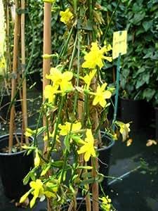 echter winter jasmin jasminum nudiflorum 80 cm hoch im 3 liter pflanzcontainer garten. Black Bedroom Furniture Sets. Home Design Ideas