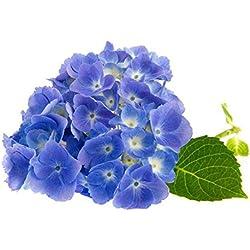 Moresave Hortensien Samen Blau Bonsai Blumensamen Mehrjährige Garten Blumen Samen 50Pcs/Paket