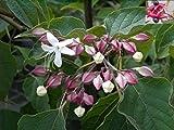 Japanischer Losbaum - Clerodendrum trichotomum - stark nach Lilien duftend - Rarität (40-60)