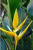 #4: Aiden Gardens Heliconia Plant Bulbs Heliconia angusta 'Yellow Christmas' 5 bulbs