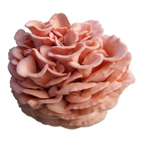 Rosenseitling-Pilzzuchtkultur mit Pilzzuchtbag Pilzzucht Pilze selbst züchten